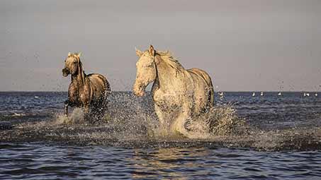 Les chevaux Camarguais dans les Bouches du Rhônes
