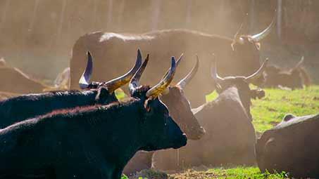 Les toros de Camargue
